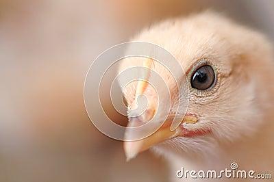 Cute chiken