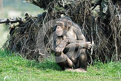Cute chimpanzee