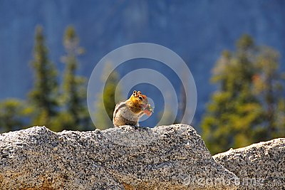Cute chipmunk eating on a rock in front of a forest in Yosemite