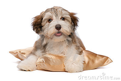 Cute chocolate Havanese puppy