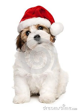 Free Cute Christmas Havanese Puppy Dog Royalty Free Stock Photos - 21964398