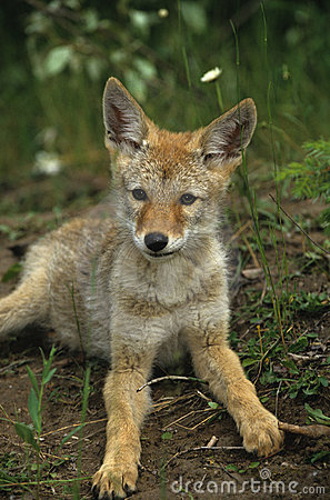 Cute Coyote Pup