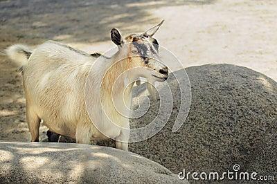 Cute creme color goat