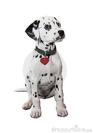 Free Cute Dalmatian Puppy Royalty Free Stock Photo - 16950175