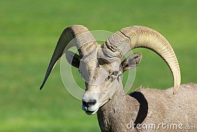 Cute Desert Bighorn Ram