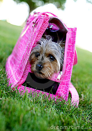 Cute Diva Dog In Pink Stock Image - Image: 2888311