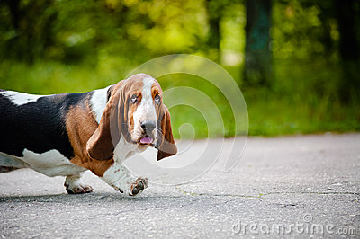 Cute dog Basset hound walking on the road