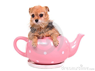 Cute dog hiding inside the pink tea pot