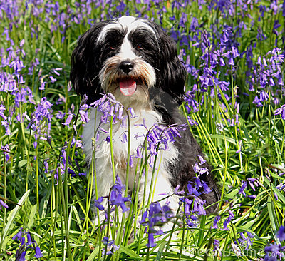 Free Cute Dog In A Field Of Bluebells Stock Photos - 12166603