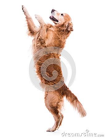Free Cute Dog Jumping Stock Image - 41241981