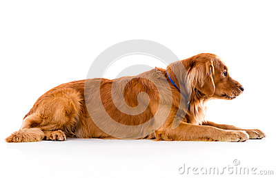 Cute dog lying down