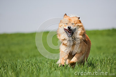 Cute dog running on the meadow