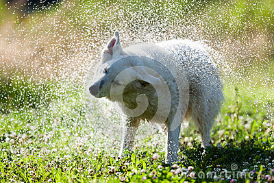 Cute dog shaking itself dry in a spray of water