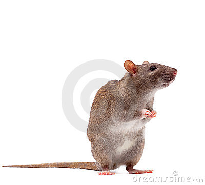 Free Cute Domestic Brown Rat Royalty Free Stock Photos - 17377118