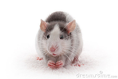 Cute domestic gray rat