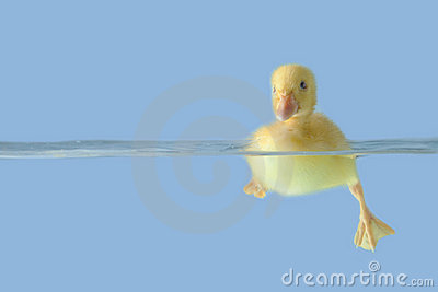 Cute duck on the water over blue background