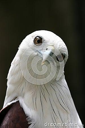 Free Cute Eagle Stock Photos - 259053