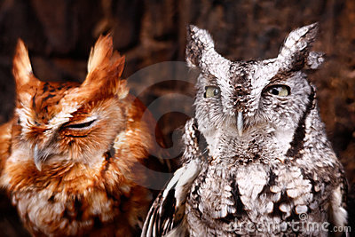 Cute Eastern Screech Owls Red and Gray Phases