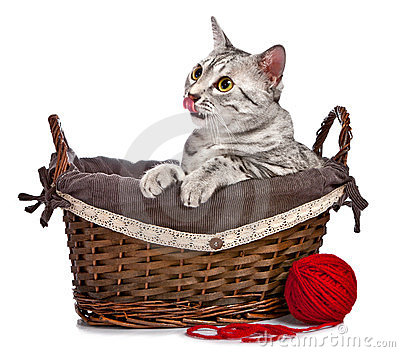 Cute Egyptian Mau cat in a basket