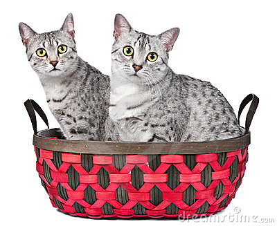 Cute Egyptian Mau Cats in a Basket