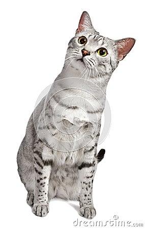 A cute Egyptian Mau looks at camera curiously