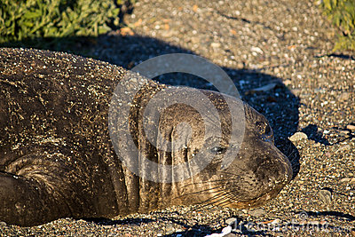 Cute Elephant Seal Female Laying on Beach