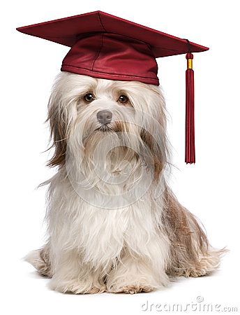 Free Cute Eminent Graduation Havanese Dog Wit Red Cap Stock Images - 31289694