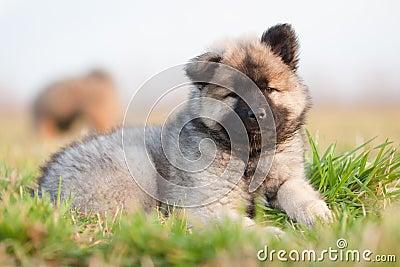 Cute Eurasian puppy