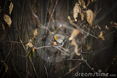 Cute European Robin Bird between branches