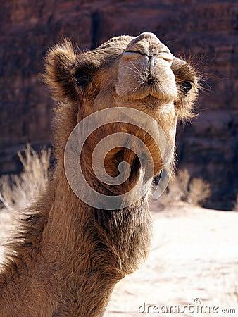 Cute face of camel