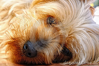 Cute Face of a Silky Terrier (Yorkie Relative)