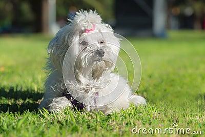 A cute female maltese dog