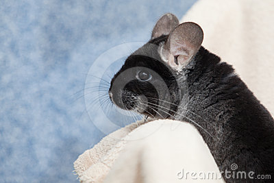 Cute fluffy black chinchilla on blue background