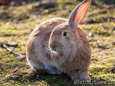 Cute and fluffy rabbit