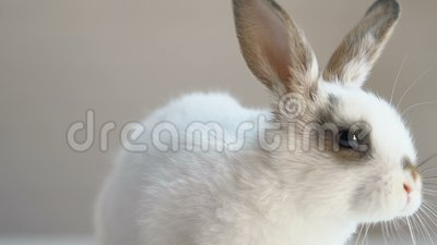 Cute fluffy rabbit sitting on table, animal rights protection campaign, humanity. Stock footage stock footage
