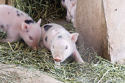 Cute and fuzzy one week old baby piglets