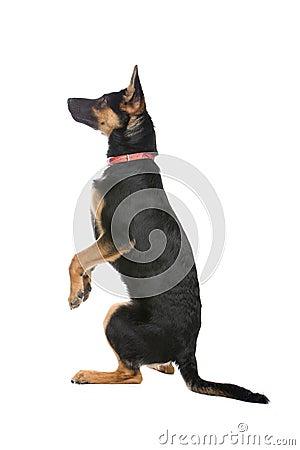 Free Cute German Shepherd Puppy Stock Image - 11350071