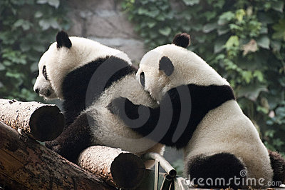 Cute Giant Panda Bear Cub Play, Beijing Zoo China