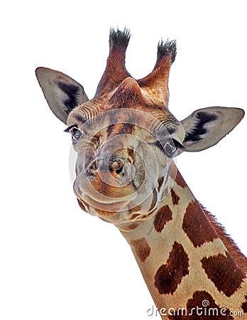 Free Cute Giraffe Royalty Free Stock Images - 12210969