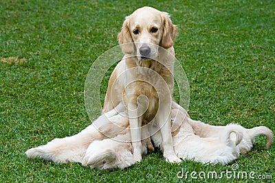 Cute Golden Retriever puppies suckling on