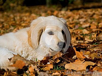 golden retriever puppy cute. CUTE GOLDEN RETRIEVER PUPPY