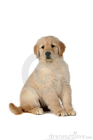 cute golden retriever puppy pics. CUTE GOLDEN RETRIEVER PUPPY