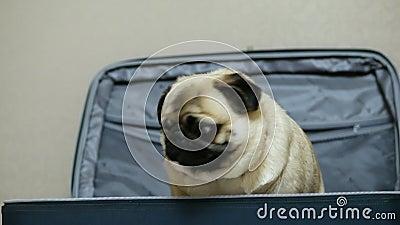 Cute grappige hond die zich verbergt en in de koffer zit, de eigenaar opent de koffer en de hond trekt uit stock footage