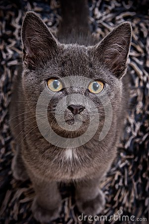 Cute Gray Cat Stock Images - Image: 14774314