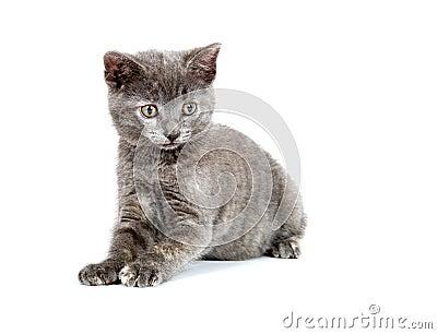 Cute gray kitten playing