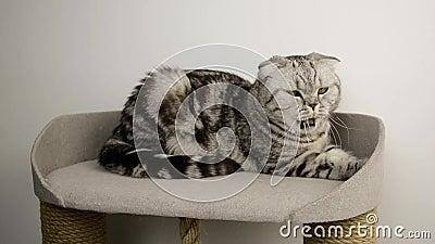 Cute gray, Scottish fold cat Yawns Verbonden dier ligt in een speelgoedkattenhuis stock videobeelden