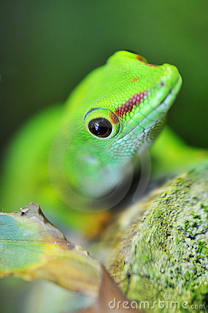 Cute green gecko