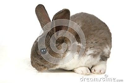 Cute Grey Pet Rabbit