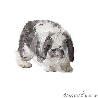 Cute Grey and White Bunny Rabbit Facing Forward