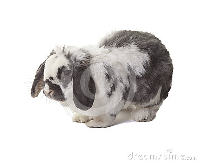 Cute Grey and White Bunny Rabbit Facing Left
